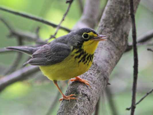 Canada Warbler Picture