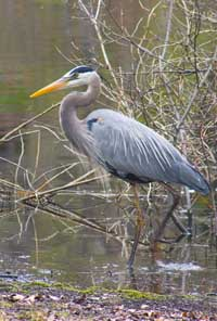 Great Blue Herons Emerald Necklace Jamaica Pond Franklin