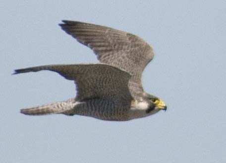 Falcon Image in Flight
