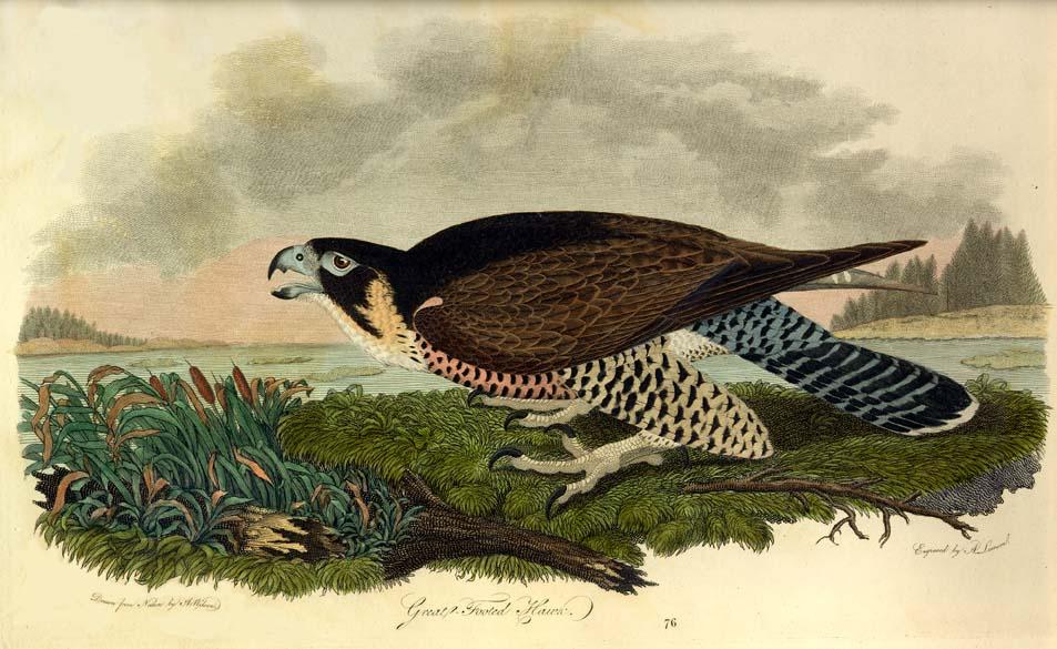 Peregrine Falcon Wingspan Peregrine Falcon Detailed