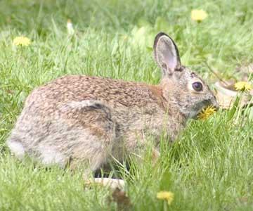 Cottontailed Rabbits, Boston, Jamaica Pond, Franklin Park
