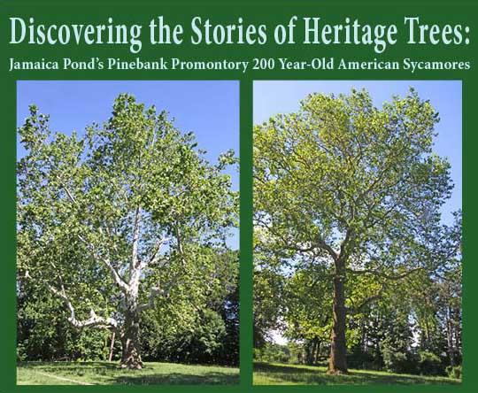 American Sycamore Trees Emerald Necklace Jamaica Pond Franklin Park